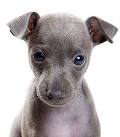 Italian Greyhound puppies. Awwwww....Marley had this same little face!! @indigogirlie  Look...remember Marley's picture... the one of him having his nose on the dandelion!?
