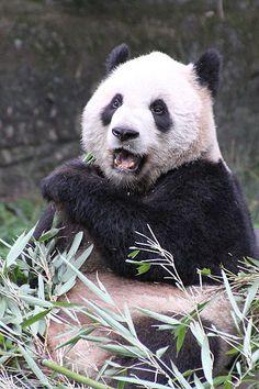 Pandas at #Toronto Zoo!