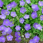 Campanula carpatica Blue Clips x 3