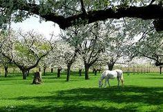 Kersenboomgaard met paarden Orchards, Southern Comfort, Belgium, Netherlands, Holland, Dutch, Europe, Landscape, Architecture
