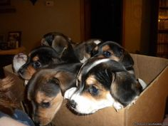 beagle jack russell mix puppies | Beagle Terrier Mix Puppies Beagle/terrier mix puppies - price: $60.00 ...