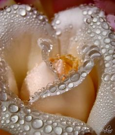 Stunning Rose and Dew-Drop Pearls