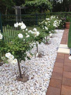 iceberg standard roses