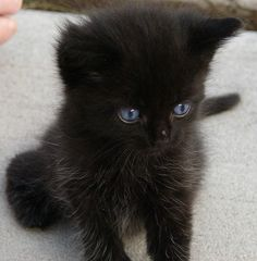 Cute Black Kittens | Cat Pictures and Videos
