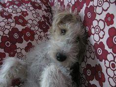 Dacia, my beloved Fox Terrier, Bella and Torino would love Dacia