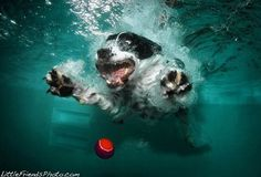 Pictures of Dogs Retrieving Balls Under Water