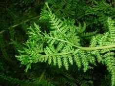 Lady Fern (Athyrium filix-femina var. cyclosorum) , Pacific northwest native fern