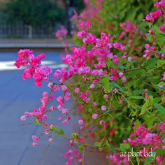 RAMBLINGS FROM A DESERT GARDEN....: Natural Beauty Without The Fuss - Queen's Wreath