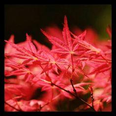 Erable du Japon ( Acer Palmatum )