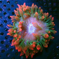 Rainbow Bubble Tip Anemone Rainbow Bubbles, Rainbow Roses, Reef Aquarium, Saltwater Aquarium, Weird And Wonderful, Wonderful Things, Bubble Tip Anemone, Marine Tank, Rocks For Sale