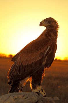 Wedge Tailed Eagle Australia | Flickr - Photo Sharing!