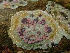 On a walk up the hill behind my house yesterday, I found these rocks with the most amazing growths of lichen and what I assume are companion fungi. (bullseye lichen) is a genus of lichenized fungi in the family Agyriaceae. Types Of Slime, Polymer Resin, Slime Mould, Botany, Stepping Stones, Beautiful Flowers, Garden Design, Stuffed Mushrooms, Ferns