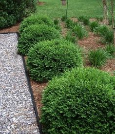 More about Velvet Green Boxwood.