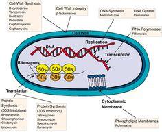 mechanisms of antibiotic action