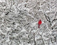 cardinal in the snow branches
