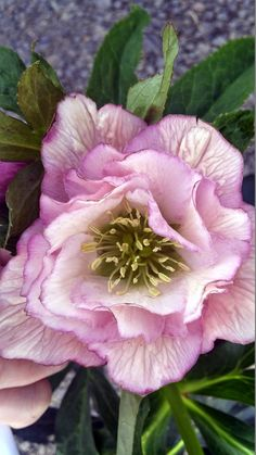 Ashwood Elegance Pearl Lenten Rose - From Japan comes this exquisite, tall double-flowered hybrid. Blooms have white petals, lightly speckled near the center and gently infused with pearly pink toward the edges. This is a tissue-cultured selection by Miyoshi, chosen for its superior qualities. Each plant is true to the original, unlike other seedling strains. A prolific cool-season bloomer for beds, borders and woodland gardens.