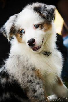Australian Shepherd pup - I want!