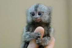 <3 The finger monkey is the tiniest living primate in the world. It's so small that it can hold on to your finger. This cute little primate hugs and grips on to your finger so tight that it pulls your heartstrings and you wish you could take it home with you. Finger monkeys are, as a matter of fact, pygmy marmosets. They are also known by the names 'pocket monkey' and 'tiny lion'. These primates belong to the family Callitrichidae, species Cebuella and genus C. pygmaea. They are native to ra...