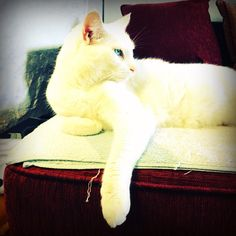 the look says it all!   #cat #eye #cute #whitecat