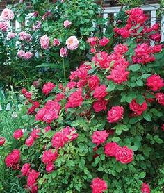 Rose, The Double Knock Out.Beauty of the classic rose with its full, double flowers along with phenomenal disease resistance. Red And White Roses, Purple Roses, White Flowers, Burpee Seeds, Wedding Plants, Planting Roses, Rose Bush, Order Flowers, Front Yard Landscaping