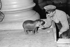 'Younger generation in the Berlin zoo: a little hippo, Photograph, Around 1935'