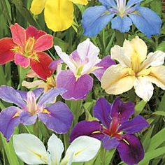 Louisiana Iris Mix Vibrant Mix for Soggy Soils Vigorous growers in wet soil; perfect for bog gardens or around ponds in full sun to partial shade. Grows 38 in. Zones This item will ship in fall 5 plants per offer. Iris Flowers, Bulb Flowers, My Flower, Planting Flowers, Beautiful Flowers, Flower Power, Bog Garden, Shade Garden, Dream Garden
