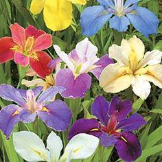Aren't they gorgeous?  Louisiana Iris Mix - Iris Bulbs - Flower Bulbs - Gurney's Seed & Nursery