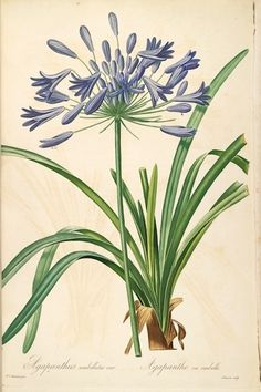 Agapanthus, Lily-of-the-Nile. Published 1816.