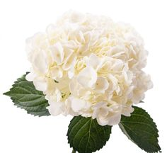 White Hydrangea - Large - Hydrangea - Types of Flowers Types Of Flowers, Large Flowers, Cut Flowers, Colorful Flowers, Diy Wedding Bouquet, Diy Wedding Flowers, Wedding Ideas, Flor Protea, White Hydrangea Centerpieces