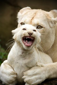 fierce baby and momma white wild cats <3