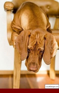 Is Your Vizsla Driving You Crazy? Make Massive Change To Your Vizsla`s Behaviour in Just 1 Day! Click the Link to get FREE Video Training NOW. Basic Dog Training, Training Your Puppy, Training Dogs, Potty Training, Dog Minding, Easiest Dogs To Train, Dog Barking, Dog Love, Animals And Pets