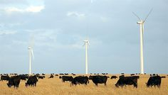 Wind turbines and cattle, Kansas