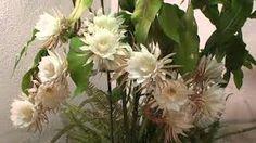 Bildergebnis für epiphyllum kaufen