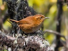 Foto corruíra-do-tepui (Troglodytes rufulus) por Marcelo Camacho | Wiki Aves - A Enciclopédia das Aves do Brasil -ratonera