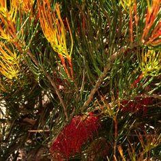 Calothamnus gracilis Spring Torch at San Marcos Growers Cool Plants, Shrubs, San, Spring, Garden, Garten, Lawn And Garden, Shrub, Gardens