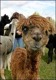 Alpaca, might get some of these to go with the chickens in the backyard :)