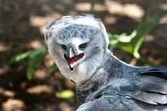 Happy Bird - 50 of the Most Beautiful Exotic Animals on Planet Earth Beautiful Birds, Animals Beautiful, Pretty Animals, Harpy Eagle, Exotic Pets, Exotic Animals, Unique Animals, Exotic Birds, Exotic Flowers