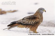 Red Kite,,Milvus milvus-----Size:  Body length: 60 cm, Wingspan: 170 cm. Breeding Starts: March-May. Clutches: 1. Number of Eggs: 2-3. Incubation, Days: 28-30. Fledge, Days: 50. What they eat: Mainly carrion and worms, but opportunistic and will also take small mammals.