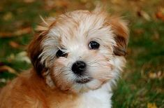 Top 10 Dog Breeds That Don't Shed - A Place to Love Dogs