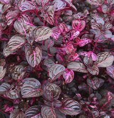 Iresine Herbstii 'Bloodleaf Plant' or 'Beefsteak Plant'