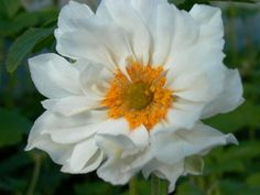 Japan-Herbst-Anemone 'Whirlwind' - Anemone japonica 'Whirlwind'