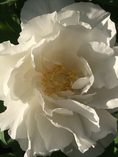 peony Flower Images, Flower Pictures, Flower Art, Amazing Flowers, Beautiful Roses, Sugar Flowers, White Flowers, Virtual Flowers, Flowers Nature