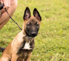11 week old Belgian Malinois puppy, Erna.