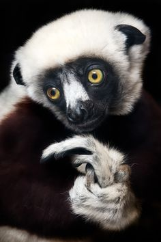Sifakas are a genus (Propithecus) of lemur from the family Indriidae within the order Primates. Like all lemurs, they are found only on the island of Madagascar. All species of sifakas are threatened, ranging from vulnerable to critically endangered.