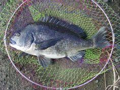クロダイ(黒鲷:日本の黒鯛)、L52cm場所:油壷湾油壺(油つぼ)ベイ、方法:ウキフカセウキ-hukase、ベイト:カイコのサナギ蛹、ロッド:矶竿磯·蔵王(排他使用)# 1.2から53、リール:スピニングreelishing、ライン:#1.25(6LB)+リーダー:#1.5(8LB) Going Fishing, Favorite Recipes, Sweets, Japan, Food, Gummi Candy, Candy, Essen, Goodies