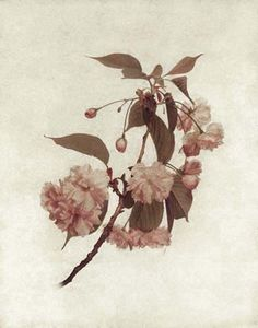 """Flowers in Neutral Moment """"Cherry Blossoms"""" Polaroid image transfer 8x10 archival pigment print Photo by Soichi Oshika"""