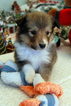 Another Sheltie Puppy by ~fewofmany on deviantART