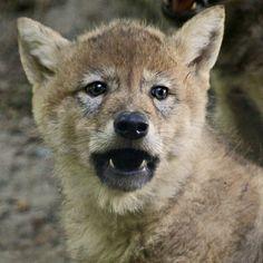 Beautiful wolf!  <3