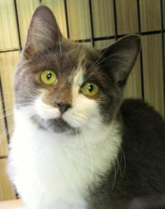"""OLIVER """"6-226"""" - URGENT - TOWN OF BABYLON ANIMAL SHELTER in West Babylon, NY - ADOPT OR FOSTER - 5 MONTH OLD Neutered Male Domestic SH KITTEN"""