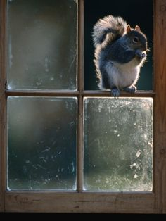Grey Squirrel (Sclurus Carolinensis) Perched in Window Frame, Llanidloes, United Kingdom Photographic Print